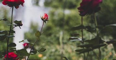 Flowers Roses Leaves Petals Buds  - svetlanabar / Pixabay